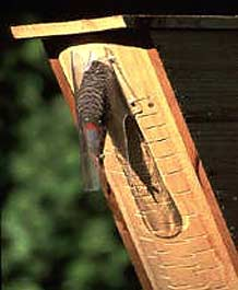 Adult flicker bringing food to nestlings in protected nestbox.